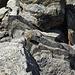 Einer der recht seltenen rock wren, die meistens von Felsen zu Felsen hüpfen und nur ein paar Meter fliegen können