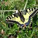 was für ein schöner und grosser Schmetterling, er ist an die 8-10 cm breit