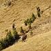 Auch beim Weg ins Tal kommen wieder ein paar Gamsen