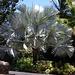 Die majestätische Bismarckpalme (Bismarckia nobilis) traf ich in Gärten verschiedener Karibikinseln an. Sie stammt ursprünglich aus den Savannen Madagaskars, ist nun aber in vielen Regionen der Tropen ein beliebter Zierbaum.