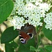 Wolliger Schneeball (Viburnum lantana)<br />Tagpfauenauge (Aglais io)<br />Veränderliche Krabbenspinne (Misumena vatia), ♀