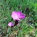 Kartäuser-Nelke (Dianthus cartusianorum)