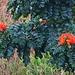 Blüten vom Afrikanische Tulpenbaum (Spathodea campanulata).<br /><br />Das natürliche Verbreitungsgebiet verläuft entlang der afrikanischen Atlantikküste von Ghana nach Süden bis Angola und von dort durch das feuchte Binnenland des Kontinents bis Sudan und Uganda. Die Nordgrenze des Verbreitungsgebiets ist der 12. nördliche Breitengrad und die Südgrenze der 12. südliche Breitengrad. Wegen seiner attraktiven Blüten wird der Afrikanische Tulpenbaum auch an vielen Orten ausserhalb Afrikas als Zierpflanze kultiviert und ist da verwildert.