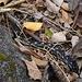 Die ungiftige, stark bedrohte Antillen-Schlanknatter (Alsophis antillensis) kommt in der Karibik nur noch auf Dominica häufiger vor.