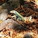 """Die Echsenart """"Pholidoscelis fuscatus"""" hat keinen Deutsche Bezeichnung. Im Cabrits Nationalpark ist das flinke Tier oft zu sehen und ist auf Dominica endemisch."""