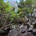 East Cabrit (140m): Um auf den allerhöchsten Punkt zu gelange, muss man vom Weg zwischen den Gipfelruinen und den Kanonen wenige Meter über Felsblöcke und durch Gestrüpp hinauf klettern