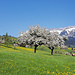 Blühende Obstbäume überall