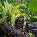 Üppige Vegetation wächst schon nach 1½ auf umgestürzten Bäumen die sich rasch im feuchten Regenwald durch Pilze und Moose zersetze und so eine neue Humusunterlage bilden.