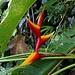 Heliconia bihai, eine der schönsten Blütenpflanzen im Regenwald Dominicas.