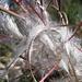 Fruchtstand vom Wald-Weidenröschen (Epilobium angustifolium)