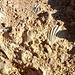 Queste le rocce che costituiscono le scogliere di Pointe de la Pietade: ultra piene di fossili!!!!