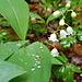 Maiglöckchen und Blätter werden nass