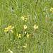 Frühlings-Schlüsselblume - Primula veris