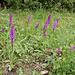 Orchis mascula - Männliches Knabenkraut