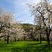 Wieder mal Kirschbäume