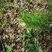 Phyteuma nigrum F. W. Schimdt<br />Campanulaceae<br /><br />Raponzolo nero<br />Raiponce noire<br />Schwarze Rapunzel