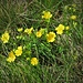 Potentilla verna L.<br />Rosaceae<br /><br />Cinquefoglie primaticcia<br />Potentille du printemps<br />Frühlings-Fingerkraut [Editare]<br />