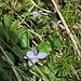 Viola riviniana Rchb.<br />Violaceae<br /><br />Viola di Rivinus<br />Violette de Rivinus, Violette à éperon clair<br />Hain-Velichen<br />