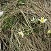 Pulsatilla alpina (L.) Delarbre<br />Ranunculaceae<br /><br />Pulsatilla alpinba<br />Pulsatille des Alpes<br />Alpen-Anemone