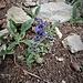 Ajuga genevensis L.<br />Lamiaceae<br /><br />Iva ginevrina<br />Bugle de Genève<br />Genfer Günsel