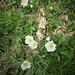 Fragaria vesca L.<br />Rosaceae<br /><br />Fragola comune<br />Fraisier des bois<br />Wald-Erdbeere