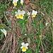Viola arvensis Murray<br />Violaceae<br /><br />Viola dei campi<br />Pensée des champs<br />Acker-Stiefmütterchen