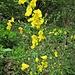 Cytisus scoparius (L.) Link<br />Fabaceae<br /><br />Citiso scopario, Ginestra dei carbonai<br />Gènet à balais, Cytise à balais<br />Besenginster