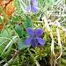 Behaartes Veilchen (Viola hirta)