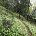Tappeto di Allium a fianco del sentiero