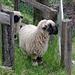 Neugierige Schafe -saftige Weide dank Lüegieru Suon