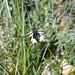 Libellen-Schmetterlingshaft (Netzflügler)