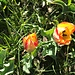 wunderschöne [https://de.wikipedia.org/wiki/Grengjer-Tulpe Grengjer Tulpen], Variante forma rubra variegata, ...
