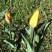 ... und bringen leuchtende Farben zum Vorschein; forma rubra variegata - die rot-gelb gestreifte Form forma omnino luteo - die ganz gelbe Form