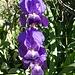 Eröffnung der Blumenschau mit Iris'