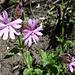Beginn des Blumenreigens auf dem Weg nach Ausserbinn und Binnegga