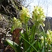 und dann, am Weg nach Binnegga, der grossartige Auftritt der gelben Orchideen ...