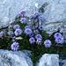 Kleine Alpengärtlein voller Kugelblumen in den Spalten der Kalkfelsen auf dem Grat zum Heidenkopf