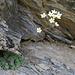 Immergrüner Steinbrech (Saxifraga aizoon)