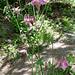 Wohl eine lilafarbige Alpen-Akelei (Aquilegia alpina)