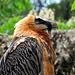 Auch ihn erspähe ich oft in freier Wildbahn, dank dem Tierpark Goldau kann man Rund um den Huetstock mit Bartgeiern in Blickkontakt treten. Meistens kreisen sie weit oben.