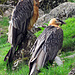 Ein Bartgeier-Paar im Tierpark Goldau.