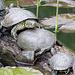 Schildkröten im Teich...