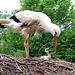 Ein Storch...