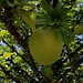 Frucht vom Kalebassenbaum (Crescentia cujete).