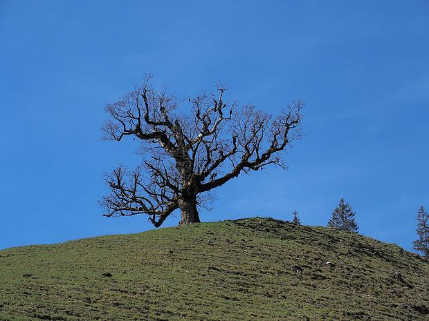 """Der berühmte Bergahorn-Baum """"Schutzengel"""" bei der Alp Le Vaju"""