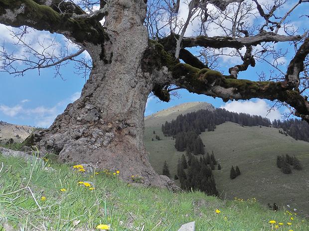 zuunterst hat der Baum einen riesigen Umfang