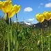 weitere Tulpen vor Bergkulisse