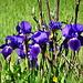 wunderschöne Iris