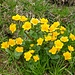 Marsh Marigold (Sumpfdotterblume, Caltha palustris). These flowers grow where it is wet.