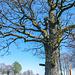 Der Theißbaum. Ein Wahrzeichen und keiner weiß warum